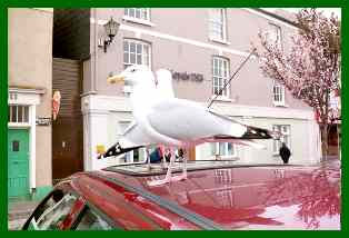 Looe seagulls photo:S and R Troyer 2000